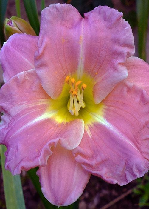"Лилейник ""Romantic Roses"