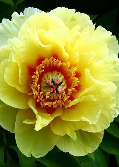 Пион Yellow-Heaven..